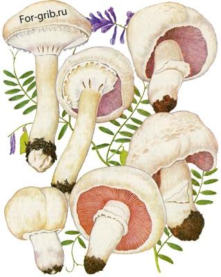 Сморчки грибы с картофелем грибы в